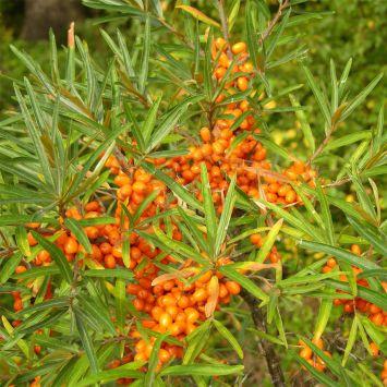 Zwerg-Sanddorn, weibliche Pflanze