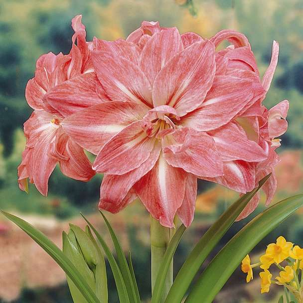 Amaryllis 'Lady Jane'