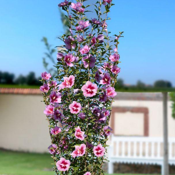 Säulen-Hibiskus 'Purple Pillar®'