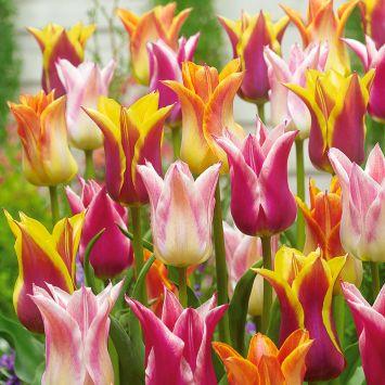 Lilienblütige Tulpen
