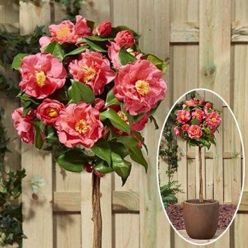Camellia jap. 'Dr. King' Stamm