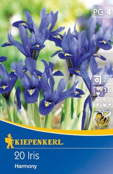 Zwerg-Iris violett