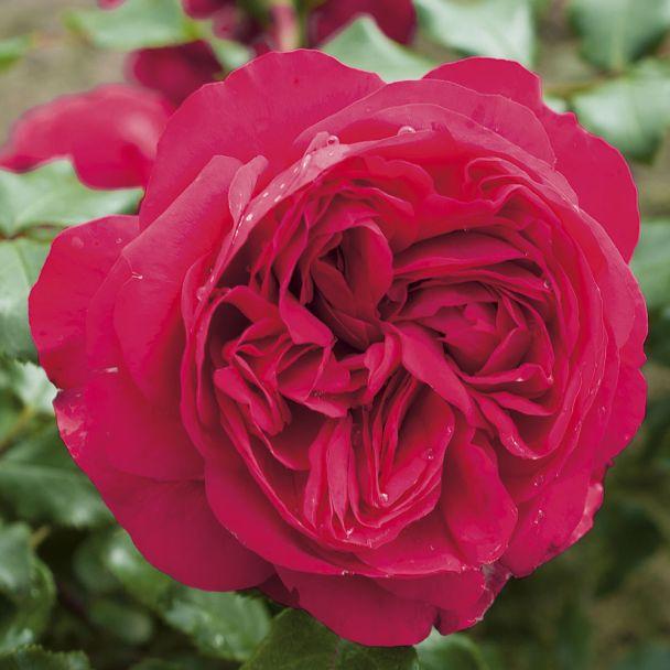 'Red Eden Rose®'