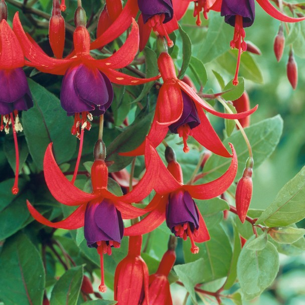 Fuchsia-Hybride 'Tom Thumb'