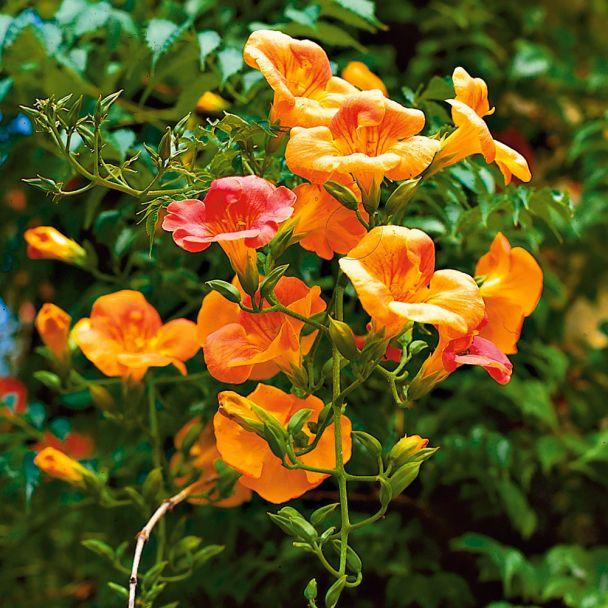 Jasmin-Trompete, orangerot