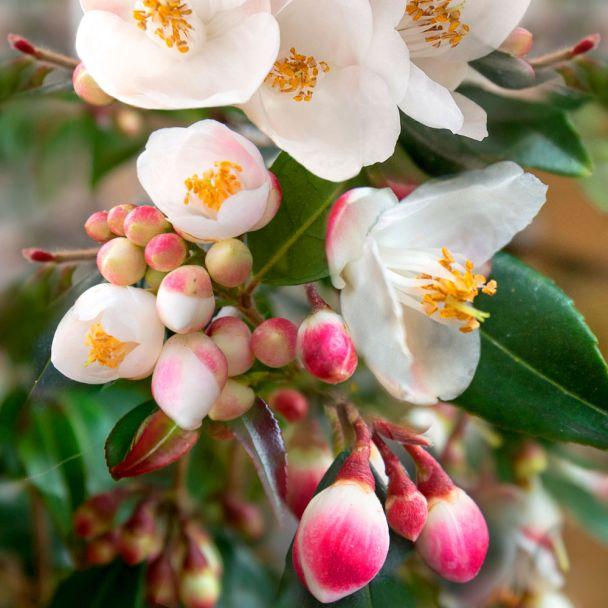 Frühlings-Kamelie Cupido®