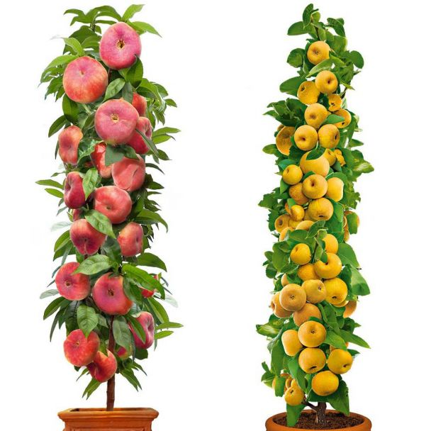 2 Säulenbäume 1 Little Pinocchio+1 ProSecco® 2j.