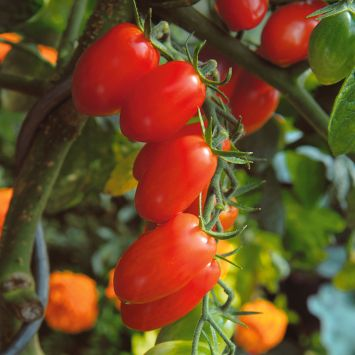 Pflaumen-Cherry-Tomate Dasher®
