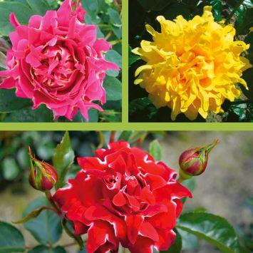 3 Ruffles Rosen: Red Lady, Splendid, Joy
