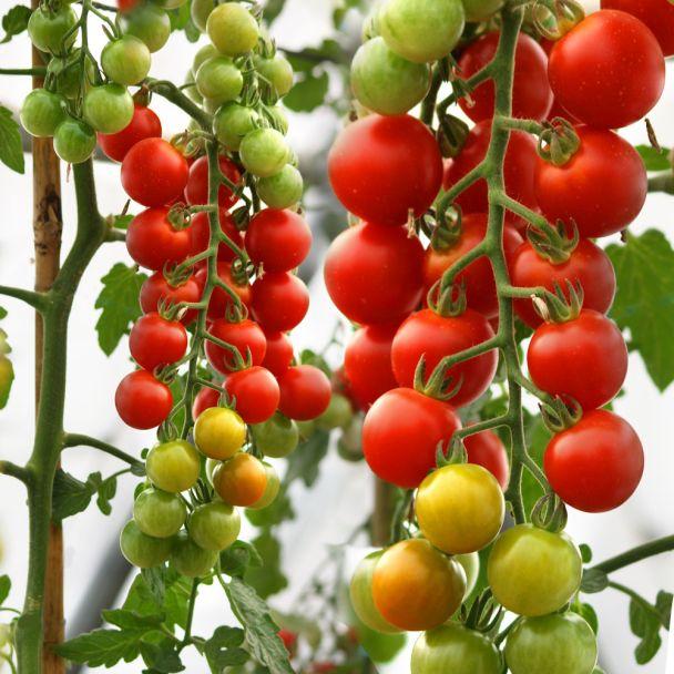 'CherryLady' F1 - die rote Cherry-Tomate