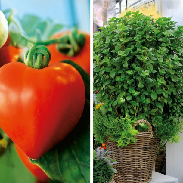 Sparangebot: 2 x Herz-Tomaten 'Lovely' + 1 x Säulen-Basilikum 'La Palma'