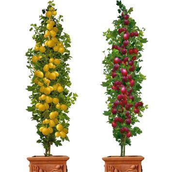 Sparset: 2 Säulen-Stachelbeeren Remarka, Mucurines