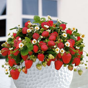 Balkon-Erdbeere 'Rimona®'