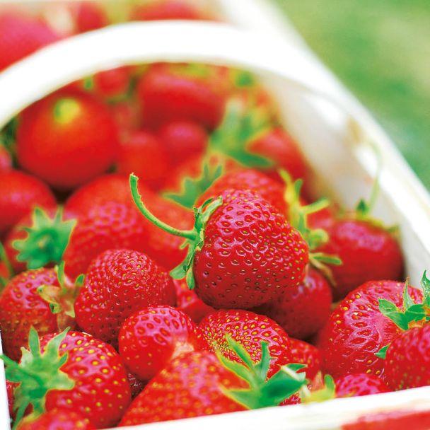 Französische Gourmet-Frucht Erdbeere Gariguette-Topfpflanze