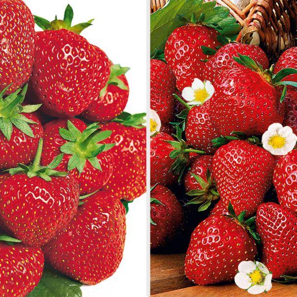 Feinschmecker-Duo: 20 Erdbeerpflanzen als Topfpflanzen
