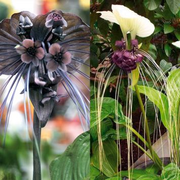 Tacca 'White Beauty' und 'Black Beauty'