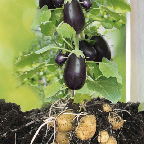 GineTato® Aubergine + Kartoffel