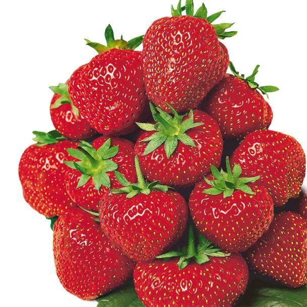 Feinschmecker-Erdbeere 'Senga®-Sengana®', mittelfrüh