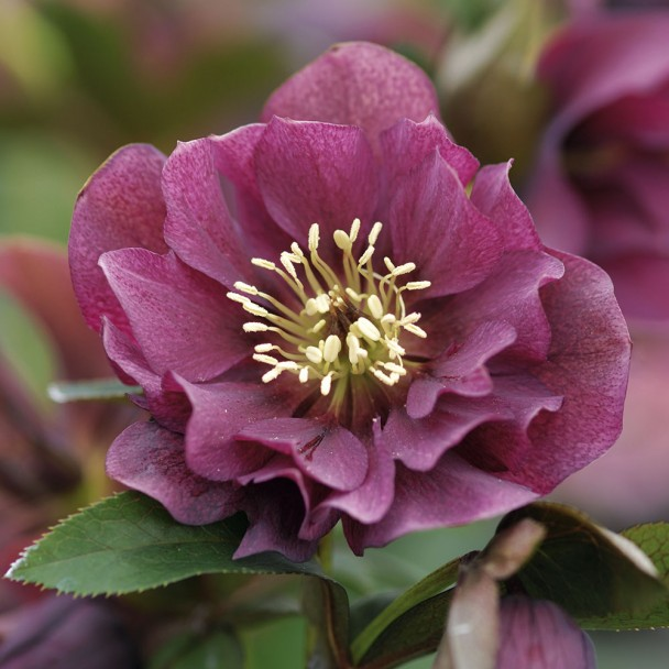 Rote Christrose 'Ellen Red Purple®'