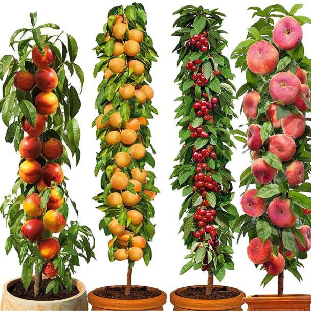 Set-Angebot 4 Säulenobst-Bäume: Fantasia, Golden Sun, Queen Mary, Pinocchio