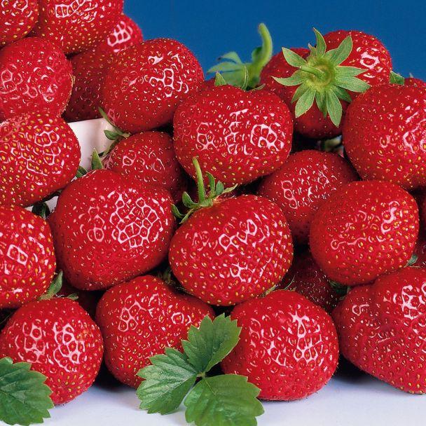 Spät-Erdbeere 'Symphonie'