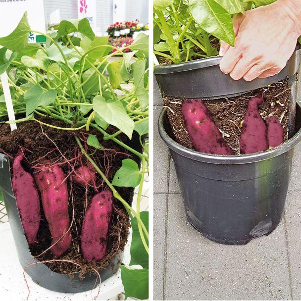 3 Süßkartoffel Rot + PotatoPot® im Sparpaket