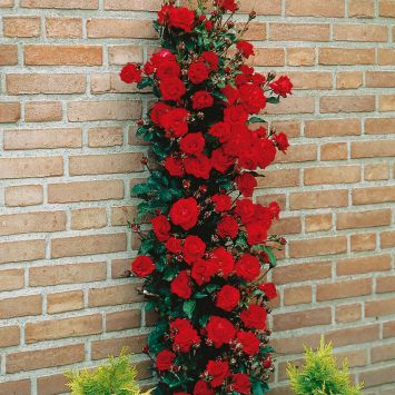 'Paul's Scarlet' Climber, Container