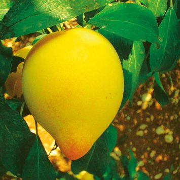 'Sharky's Plum®' Yellow - Pflaumenbaum