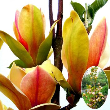 Magnolie 'Sunsation'
