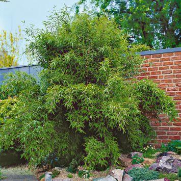 Garten-Bambus 'Jumbo'