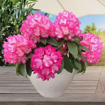 XXL® Rhododendron