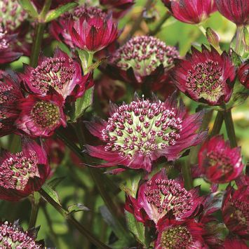 Sterndolde 'Moulin Rouge®'