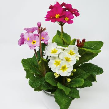 Stielprimel Trio (Weiß, Purpur, Rosa)