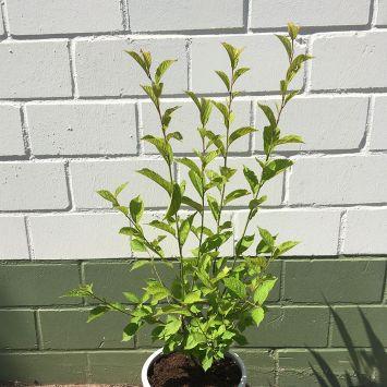 Nankingkirsche Prunus tomentosa Orient