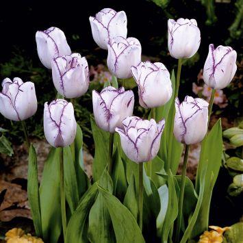 Tulpen 'Magier'
