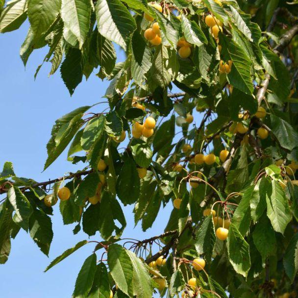 Kirsche Dönnissens die Gelbe