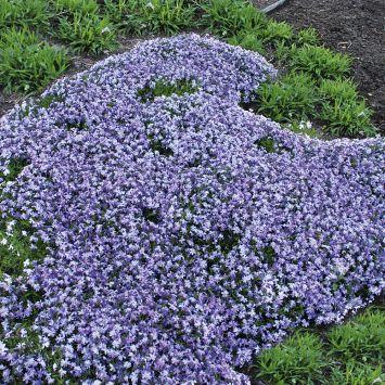 Lavendelblauer Polsterphlox