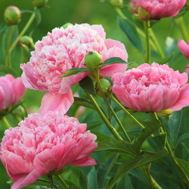 Pfingstrose 'Sarah Bernhardt', rosa