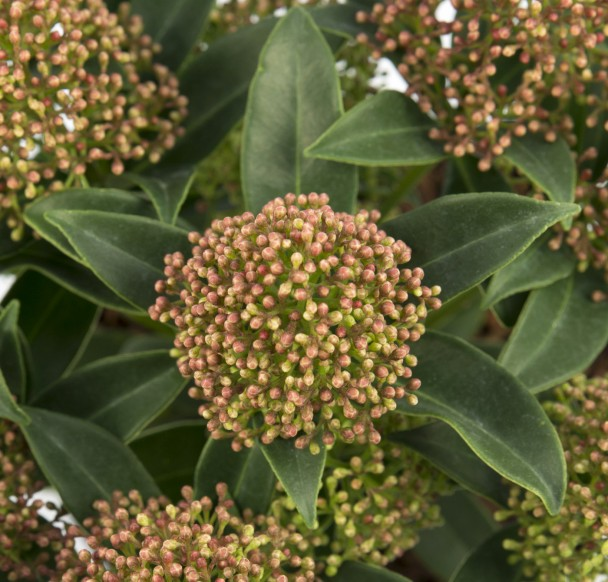 Skimmia, japonica 'Marlot'