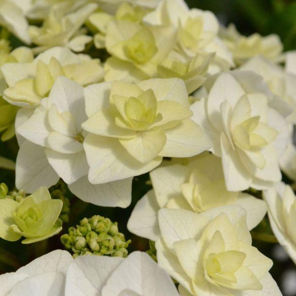 Hortensie 'Doppio® Bianco'