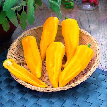 Snack-Paprika 'Ariella®' Midi Yellow F1