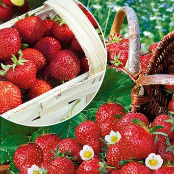 Feinschmecker-Duo: 50 Erdbeerpflanzen als Setzlinge