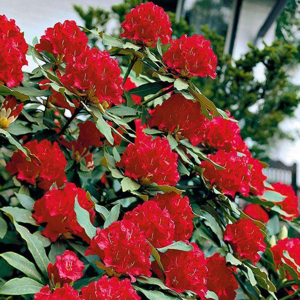 Rhododendron Kardinalrot