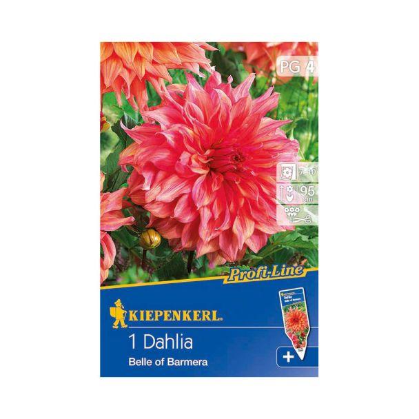 Riesenblütige Dahlie 'Belle of Barmera'