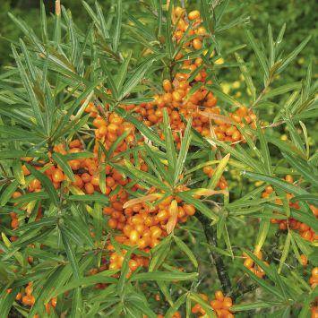 Zwerg-Sanddorn, männliche Pflanze