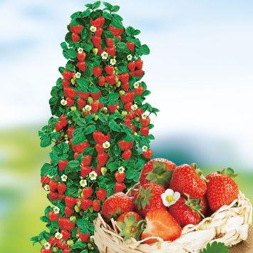 Kletter-Erdbeere Hummi®