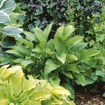 Hosta Hybriden, 'Marmalade on Toast'