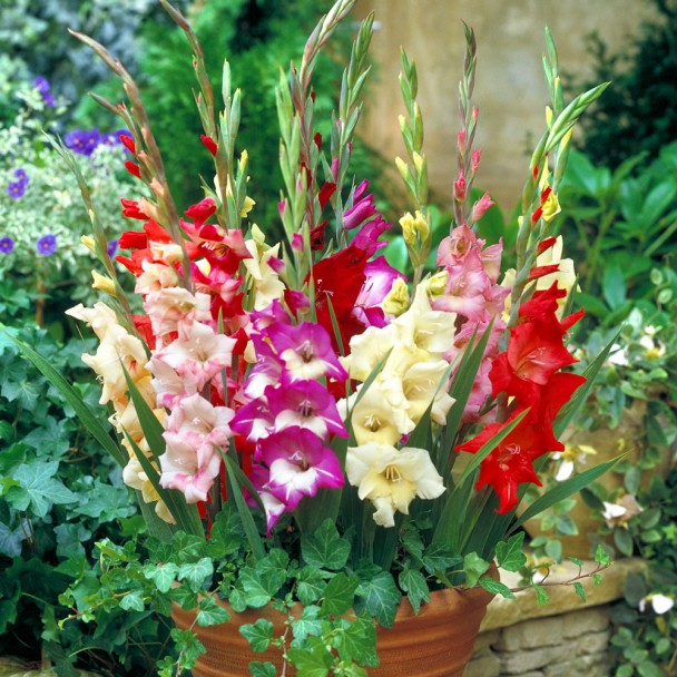 Glamini Gladiolen Mix