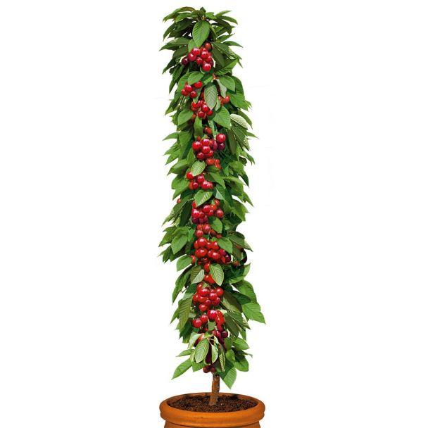 Säulenobstbaum Süßkirsche 'Queen Mary', zweijährig