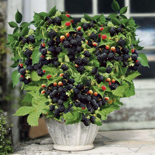 Zwerg-Brombeere Lowberry® 'Little Black Prince®'
